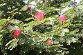 Fabales - Calliandra haematocephala 1.jpg