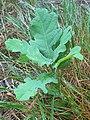Fagales - Quercus robur - 66.jpg