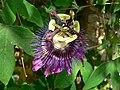 Fale - Giardini Botanici Hanbury in Ventimiglia - 357.jpg