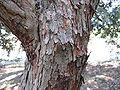 Feijoa sellowiana1.jpg
