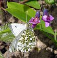 Female Orange-tip. Anthocharis cardamines. - Flickr - gailhampshire.jpg