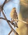 Female house finch in Central Park (11035).jpg