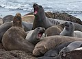 Female northern elephant seals at the beach of Año Nuevo State Park-2416.jpg