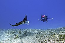 Female scuba diver swims with a young male Manta ray - Kona district, Hawaii.jpg
