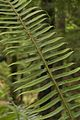 Ferns in the Umpqua National Forest.JPG