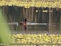 Ferruginous Pochard (Aythya nyroca) (24769670517).jpg