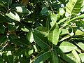 Ficus ingens.jpg