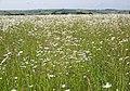 Field of Ox-eye Daisy near the Harewarren - geograph.org.uk - 844644.jpg