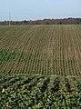 Field towards Hyams Lane - geograph.org.uk - 1602723.jpg