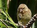 Finch (5765812386).jpg