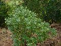 Fish-poison Bush (3128041164).jpg