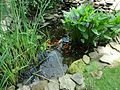Fish in an outdoor pond in a garden.jpg