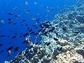 Fish swarm off Coron Island.jpg