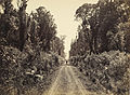Five Mile Avenue, Forty Mile Bush, New Zealand circa 1875.jpg