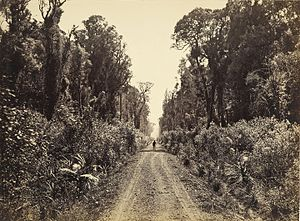 Seventy Mile Bush - Five Mile Avenue, Forty Mile Bush, Eketahuna circa 1875