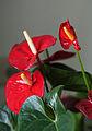 Flamingoblume (Anthurium andraeanum) (15627930049).jpg