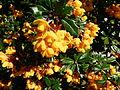 Fleurs jaunes inconnues jardin du XIVème.JPG