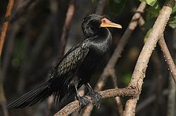 Flickr - Rainbirder - Long-tailed Cormorant (Phalacrocorax africanus) (1).jpg