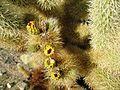 Flickr - brewbooks - Cylindropuntia bigelovii ( Teddy-bear Cholla Cactus) (2).jpg