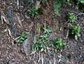 Flickr - brewbooks - Goodyera oblongifolia (Western rattlesnake plantain) (1).jpg