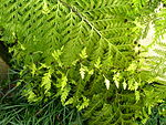 Flickr - brewbooks - Hen and chicken fern.jpg