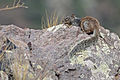 Flickr - ggallice - Rock squirrel.jpg