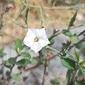 Flor de Convolvulus equitans var. equitans.jpg