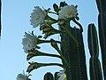 Flores de Cactus - panoramio.jpg