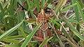 Florida Eastern Lubber Grasshopper on Grass (4).jpg