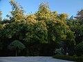 Flourishing Bamboo, Hibiscus Garden - panoramio.jpg