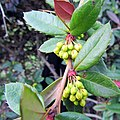 Flower buds of Berberis julianae.jpg