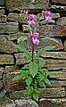 Flower in the Wall (5005106836).jpg