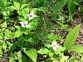 Flowering bunchberry plants. (9949f89d0a1b473f9e88c182c3525601).JPG