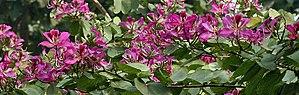 Bauhinia × blakeana - Image: Flowers I IMG 2101