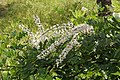 Flowers of Kerala04494.jpg
