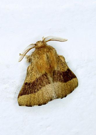 Forest tent caterpillar moth - Adult