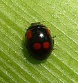 Form of 2-spot Ladybird Adalia bipunctata. Coccinellidae. - Flickr - gailhampshire.jpg