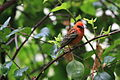 Foudia madagascariensis -Seychelles -male-8 (2).jpg