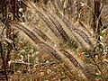 Fountain Grass (30980302392).jpg
