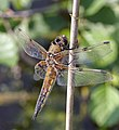 Four-spotted Chaser (Libellula quadrimaculata) - geograph.org.uk - 1037164.jpg