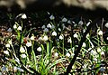 Frühlings-Knotenblume, Leucojum vernum 62.JPG