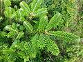 FraserFirFoliage.jpg