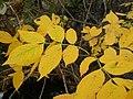 Fraxinus pennsylvanica (5107486573).jpg