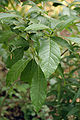 Fringe Tree Chionanthus virginicus Leaves 2000px.jpg