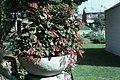 Fuchsia triphilla var gartenmeister bonstedt2 WPC.jpg