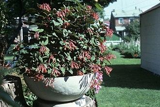 Fuchsia triphylla - Image: Fuchsia triphilla var gartenmeister bonstedt 2 WPC