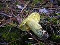 Gąska zielonka DSCN6110.jpg
