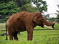 GOC Woburn 085 Asian Elephant (Elephas maximus), Woburn Safari Park (22835244489).jpg