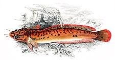 Gaidropsarus vulgaris Gervais.jpg