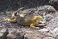 Galápagos land iguana Santa Cruz Island Galápagos Ecuador DSC00255 ad.JPG